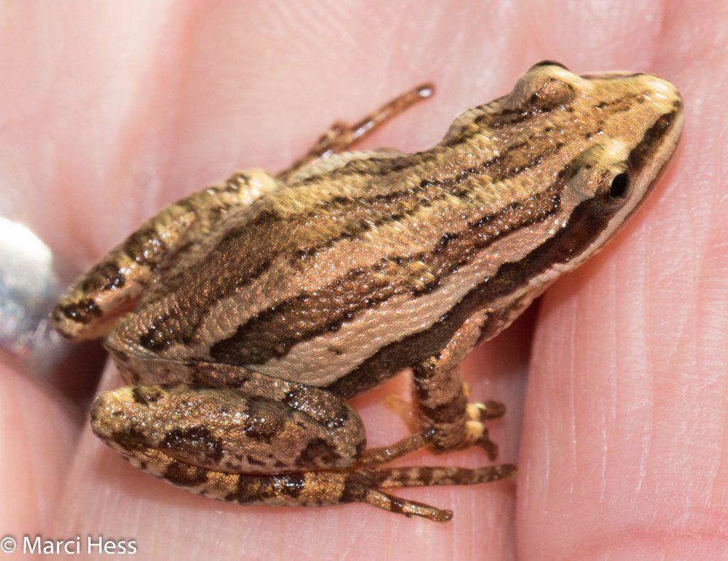 western chorus frog, Pseudacris triseriata