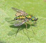 Dolichopodidae, Condylostylus