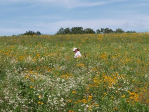 Looking for invasive species in a prairie in the driftless area