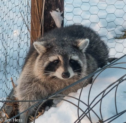 Common raccoon driftless prairies native habitat for Do raccoons eat fish