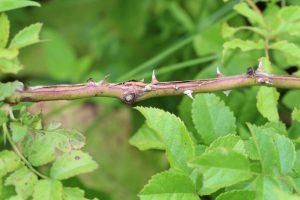 Thorns of Multiflora Rose