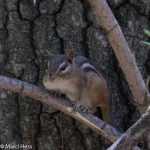 Eastern Chipmunk, Tamias striatus