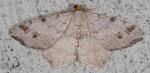 Geometridae, Common Angle, Macaria aemulataria