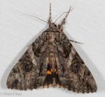 Erebidae, Penitent Underwing Moth , Catocala piatrix