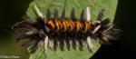 Erebidae, Milkweed Tussock Moth, Euchaetes egle