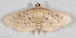 Crambidae, Bold feathered Grass Moth, Herpetogramma pertexalis