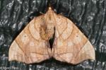 Geometridae, Greater Grapevine Looper, Eulithis gracilineata