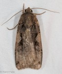 Noctuidae, Greater Black Letter Dart, Xestia dolosa
