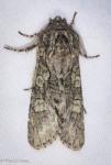 Noctuidae, Figure Eight Sallow, Psaphida resumens