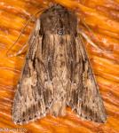 Noctuidae, Confused Woodgrain, Morrisonia confusa