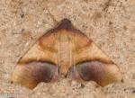 Geometridae, Straight lined Plagodis, Plagodis phlogosaria