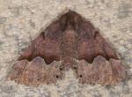 Geometridae, Hubner's Pero, Pero ancetaria
