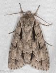 Noctuidae, Great Oak Dagger, Acronicta lobeliae