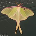 Saturniidae, Luna Moth, Actias luna