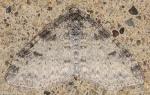 Geometridae, Powdered Bigwing. Lobophora nivigerata