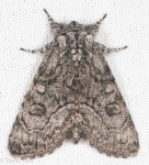 Noctuidae, The Brother, Rafia frater