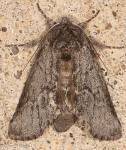 Notondontidae, Double Lined Prominent, Lochmaeus bilineata