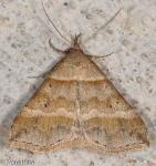Erebidae, Dark banded Owlet, Phalaenophana pyramusalis