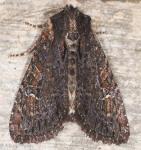 Noctuidae, Dusky Apamea, Apamea plutonia