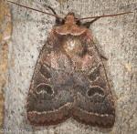 Noctuidae, Cynical Quaker, Orthodes cynica