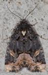 Noctuidae, Black Wedge-Spot, Homophoberia apicosa