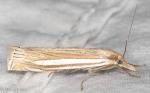 Crambidae, Eastern Grass Veneer, Crambus laqueatellus