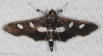 Crambidae, Grape Leaffolder,Desmia funeralis-maculalis-s