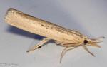 Crambidae, Sod Webworm, Pediasia trisecta
