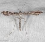 Pterophoridae, Amblyptilia sp
