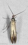 Coleophoridae, Coleophora trifolii, Large Clover Casebearer, Casebearer Moths