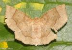 Geometridae, Scalloped Metarranthis Complex, Metarranthis sp