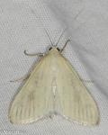 Crambidae, Carrot Seed Moth, Sitochroa palealis