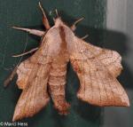 Sphingidae, Walnut Sphinx, Amorpha juglandis