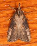 Erebidae, Hop Vine Moth, Hypena humuli
