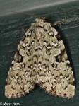 Noctuidae, Green Leuconycta, Leuconycta diphteroides