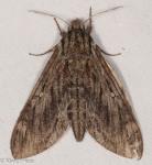 Sphingidae, Hermit Sphinx, Lintneria eremitus