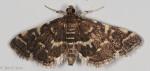 Crambidae, Yellow spotted Webworm, Anageshna primordialis