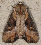 Noctuidae, Double lobed Moth, Lateroligia ophiogramma