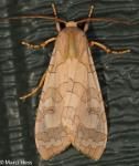 Erebidae, Banded Tussock Moth, Halysidota tessellaris
