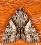 Erebidae, Charming Underwing, Catocala blandula