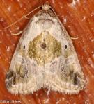 Noctuidae, Black dotted Glyph, Maliattha synochitis