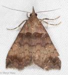 Erebidae, Ambiguous Moth, Lascoria ambigualis