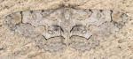 Geometridae, Bent line Gray, Iridopsis larvaria