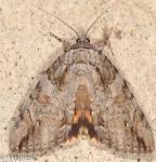 Erebidae, Bride, The, Catocala neogama