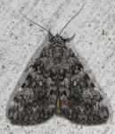 Erebidae, Little lined Underwing, Catocala lineella