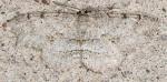 Geometridae, Signate Melanolophia, Melanolophia signataria