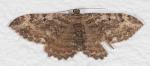 Geometridae, Barberry Geometer, Coryphista meadii