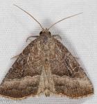 Noctuidae, Common Pinkband, Ogdoconta cinereola