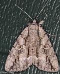 Erebidae, Yellow gray Underwing, Catocala retecta