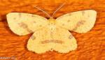 Geometridae, Xanthotype sp